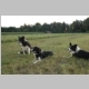Drei tolle Bordercollies